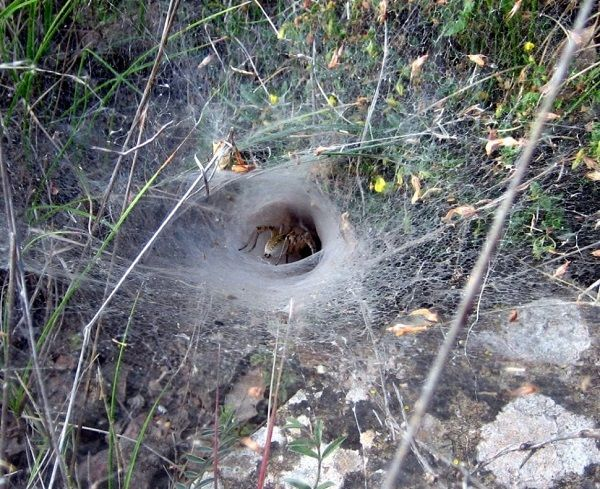 Dangerous insects and reptiles in Spain, Funnel web spider