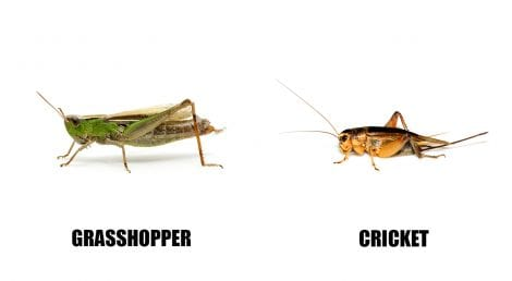 Creepy Crawlies in Spain, grasshoppers and crickets