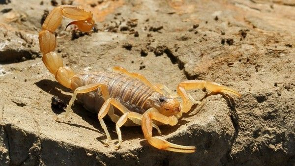 Dangerous insects and reptiles in Spain, Mediterranean Scorpion