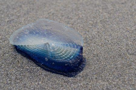 Beach Safety, Jellyfish